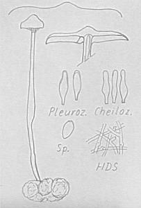 Hypholoma tuberosum Sklerotien-Schwefelkopf e
